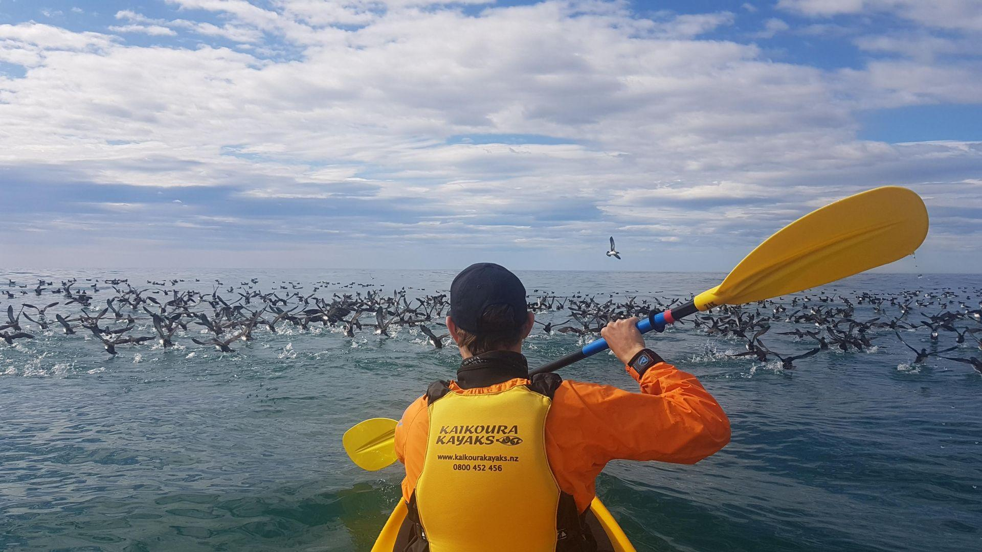Hutton Shearwaters Kaikoura