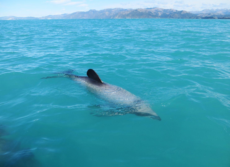 Hectors Dolphin Kaikoura