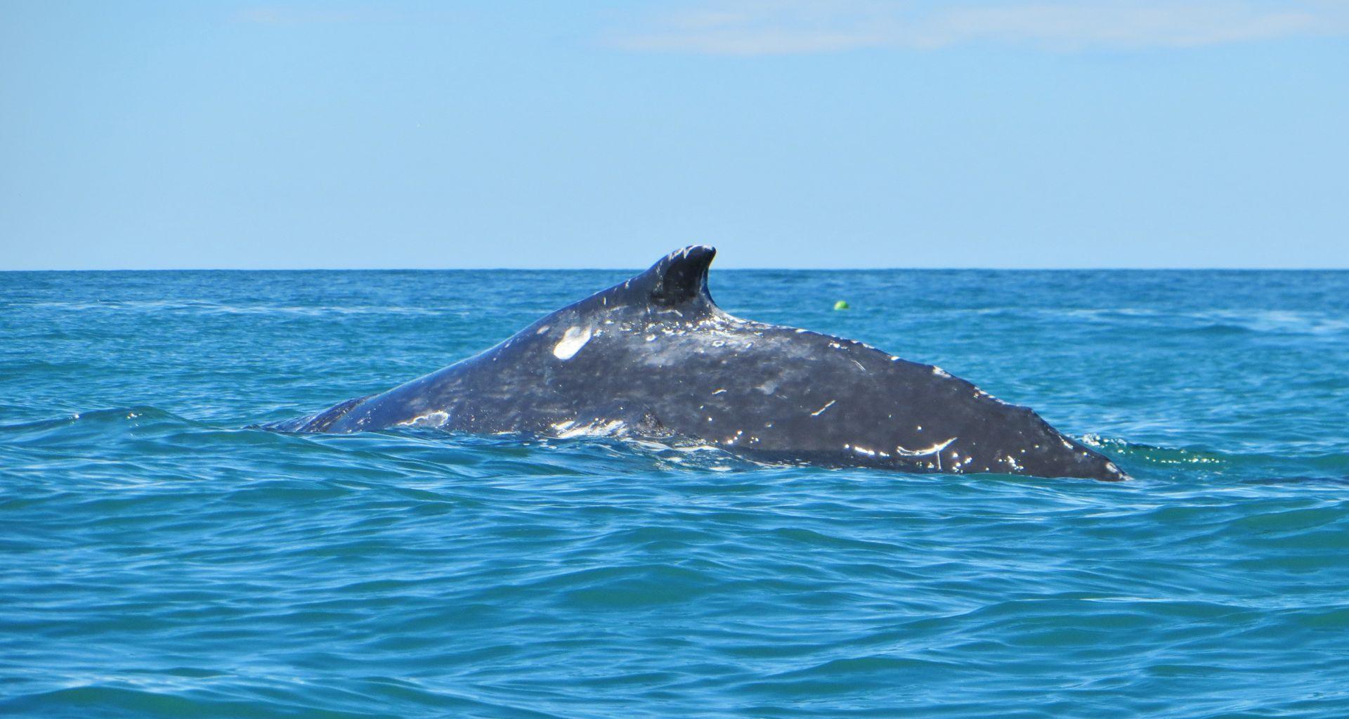 Humpback Whale Kaikoura Kayaks