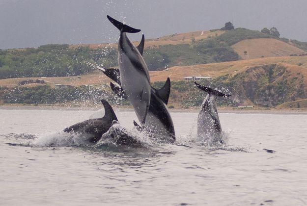 Kaikoura Wildlife - Dolphins