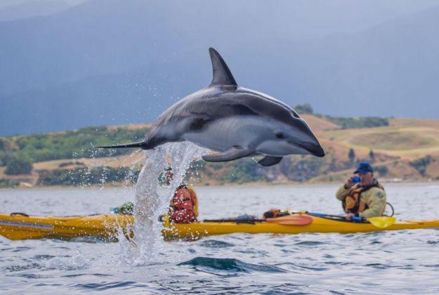 Dusky Dolphin Kaikoura Kayaks