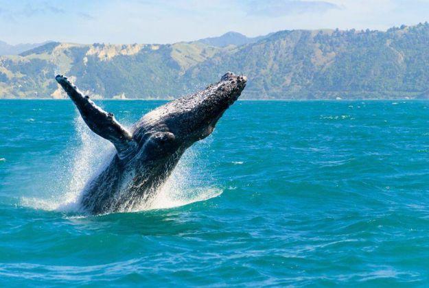 Humpback Whale Kaikoura